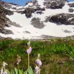 Pallisade Glacier Flowers